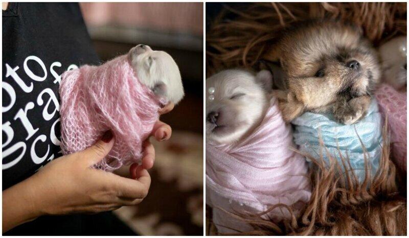 Мимишность зашкаливает: чудесная фотосессия новорожденных щенков (22фото)