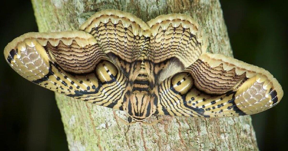 Фотограф поймал бабочку с тигриными глазами (7фото+1видео)
