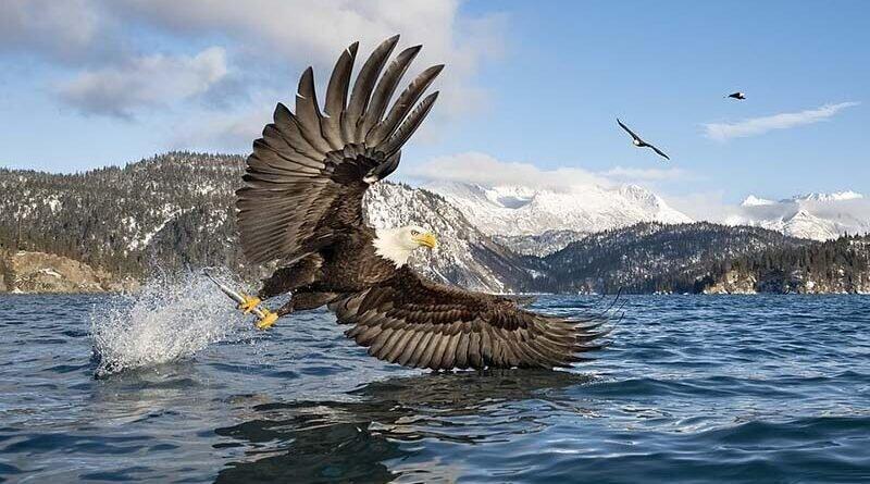 Улов дня: фотограф снял зрелищное фото белоголового орлана с рыбой (7фото)