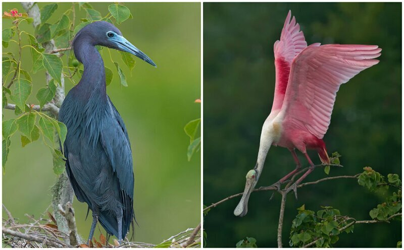 Удивительные птицы из тропиков Южной Америки (29фото)