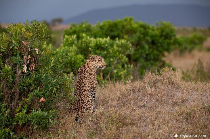 Уютный вечер с леопардом (16фото)