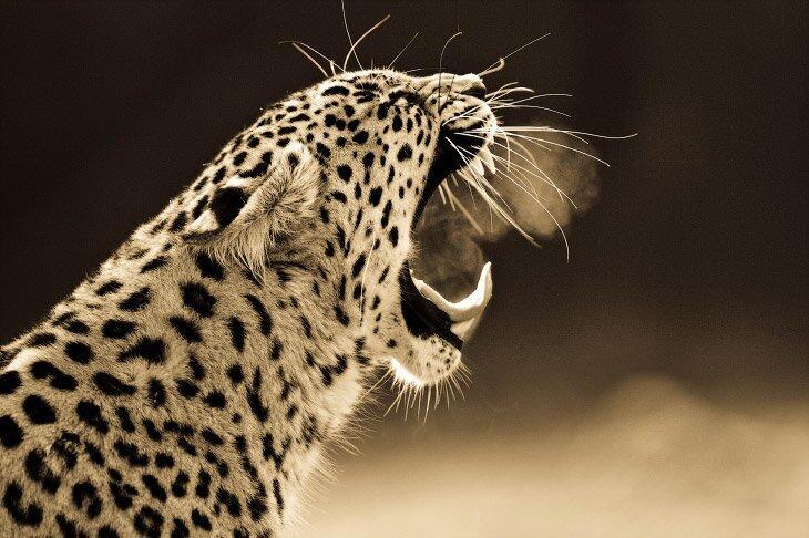 Портреты больших кошек (12фото)