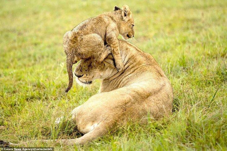 Львиные игры (8фото)