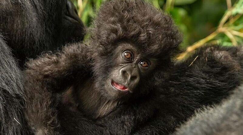 Малыш гориллы с необычайной прической (5фото)
