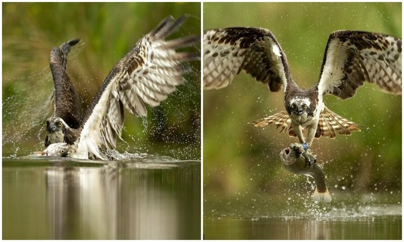 Точно в цель: фотограф заснял скопу за ловлей рыбы (8фото)