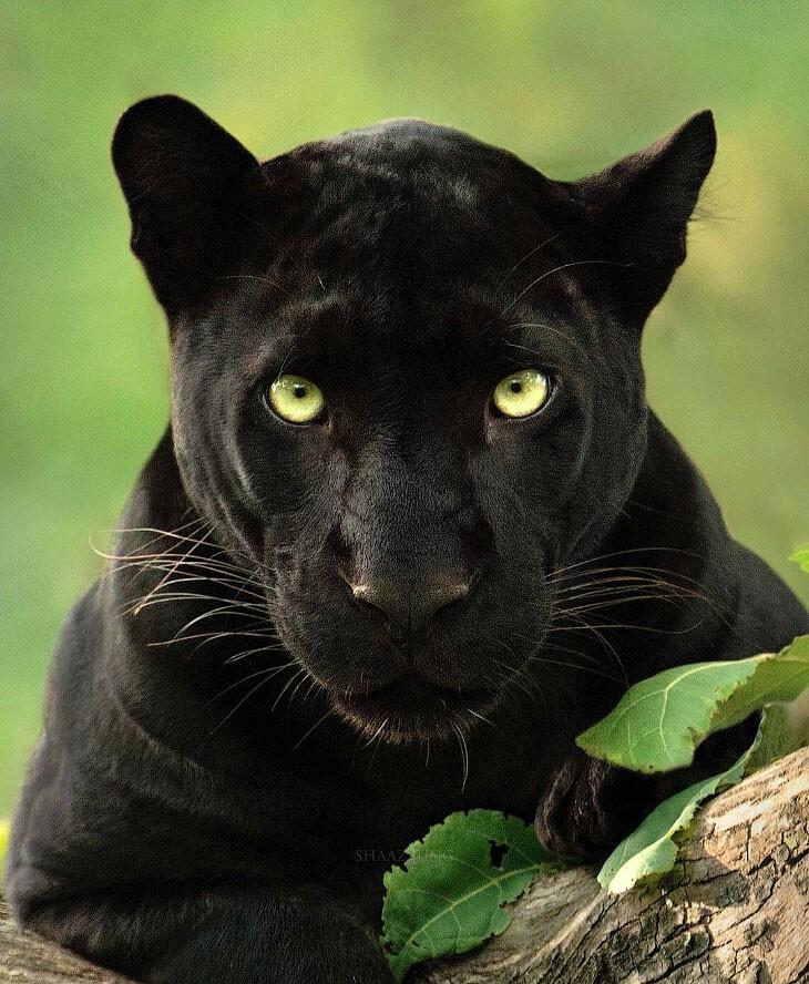 Потрясающие фотографии редкой черной пантеры (20фото)