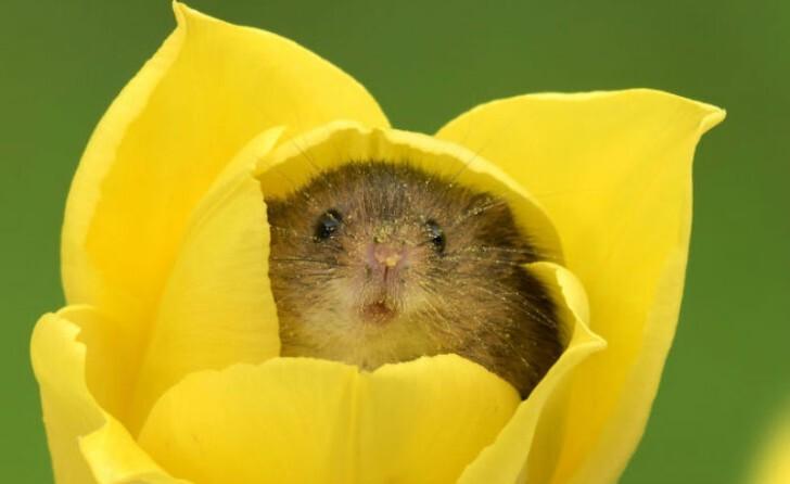 Фотограф снял, как мышки-малютки прячутся в тюльпанах, и мы не можем перестать смотреть на это (20фото)