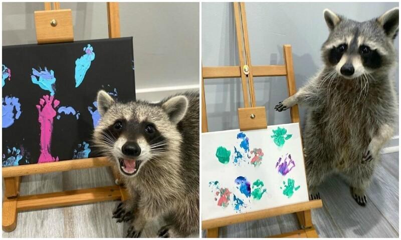 Еноты-художники рисуют картины, которые распродаются по всему миру (15фото)