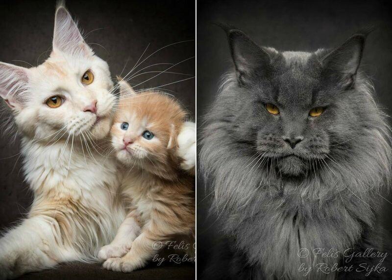 Магическая красота мейнкунов, самых крупных кошек (49фото)