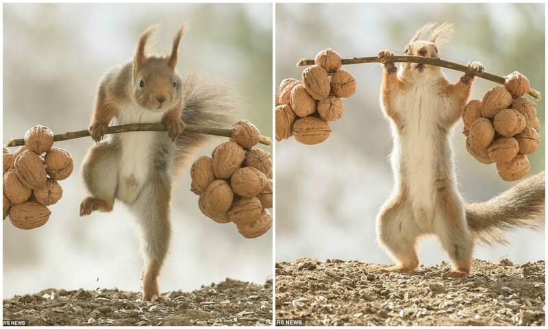 Сколько жмешь? Шведский фотограф заснял забавную белку-качка (13фото)
