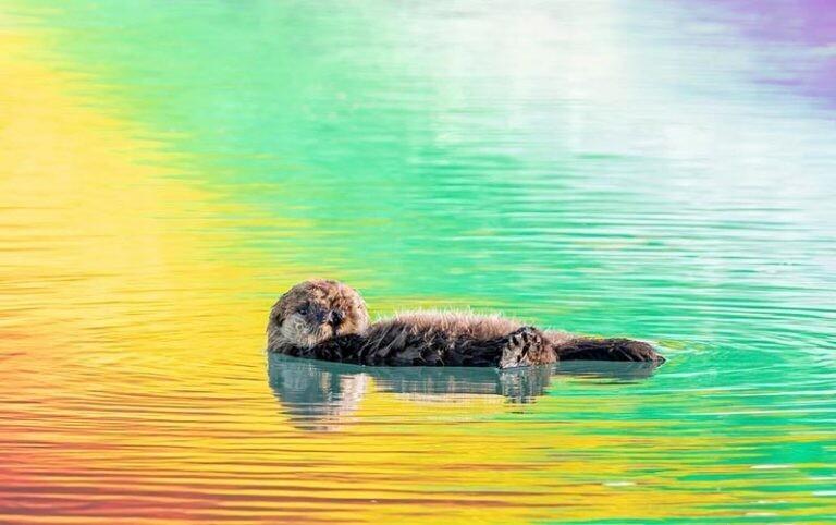 Эта выдра выглядит так, будто плавает в «радуге» (6фото)