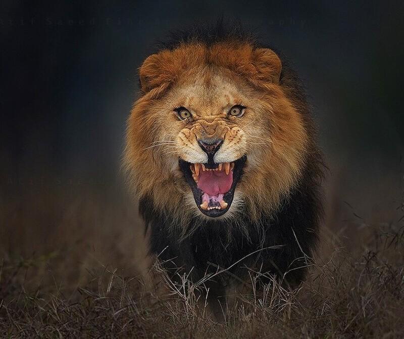 Фотограф показывает красоту львов (32фото)