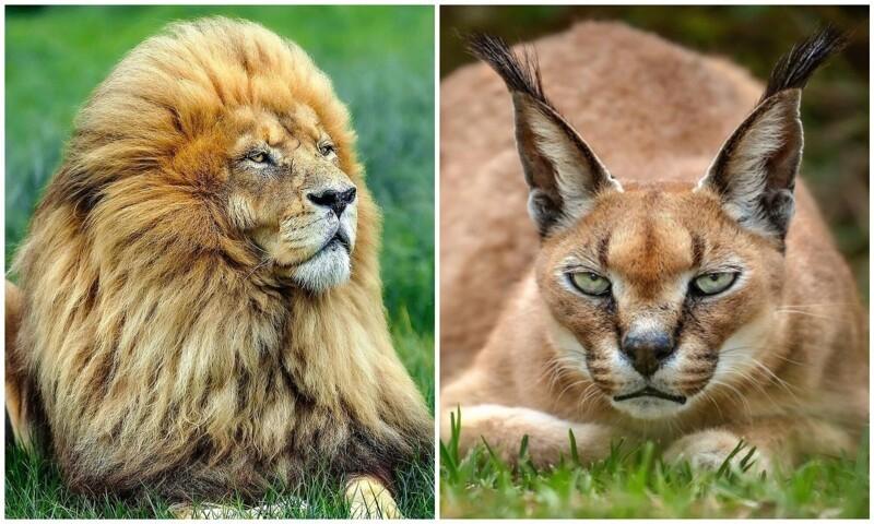 Их осталось немного: фотограф показывает красоту животных из заповедников (18фото)