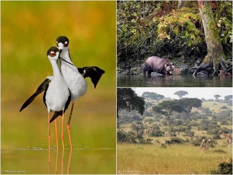 Дикие животные и птицы на снимках Мелиссы Гроо (31фото)