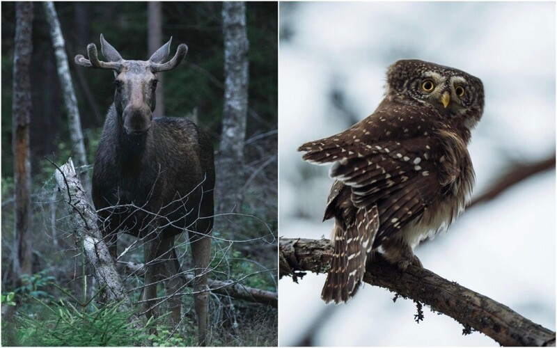 Лесные обитатели на снимках Олле Нилссона (26фото)