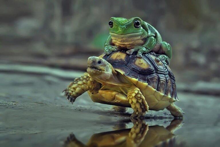 Лягушонок прокатился верхом на черепахе (5фото)