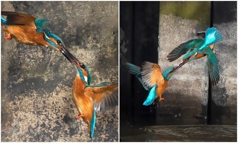 Фотограф запечатлел 10-секундный поединок зимородков (6фото)