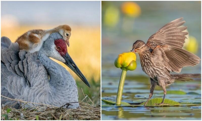 Удивительные фото птиц с конкурса Audubon Photography (11фото+1видео)