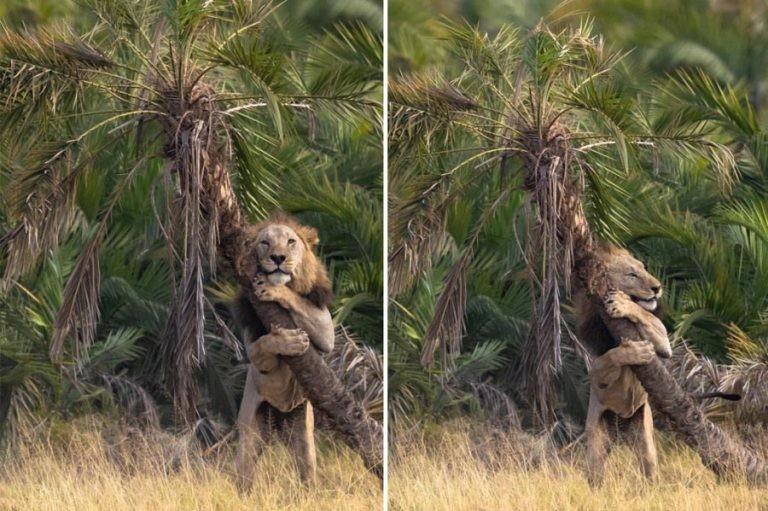 Фотограф запечатлел необычный момент, когда лев обнимал дерево в Кении (5фото)