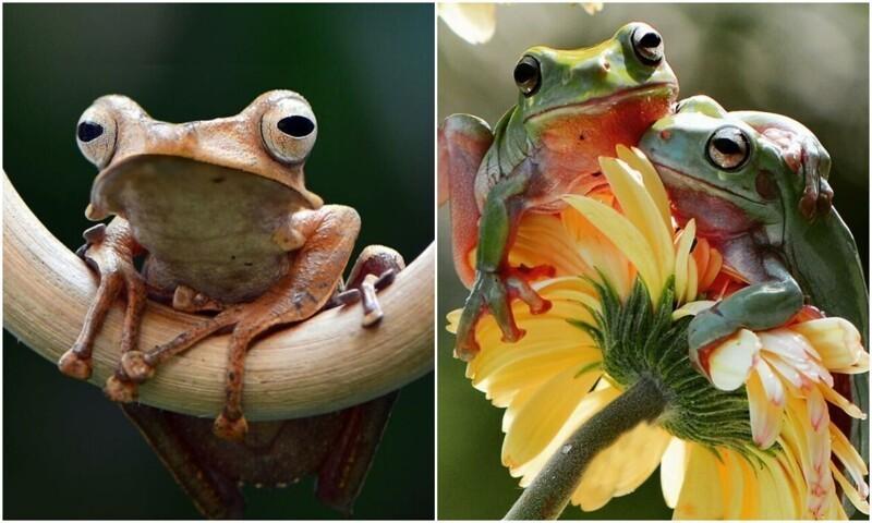 Фотограф из Индонезии делает снимки лягушек в своем дворе (30фото)