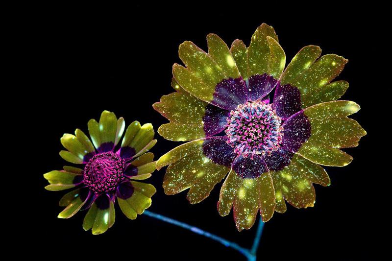 Ослепительные фотографии цветов, освещённых ультрафиолетом (10фото)