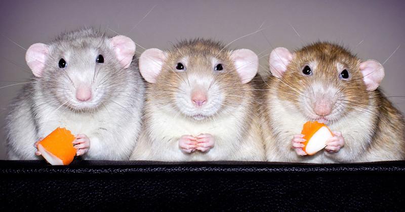 Очаровательные портреты, которые изменят ваше представление о крысах (34фото)